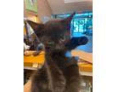 Adopt Diandra a All Black Domestic Shorthair / Domestic Shorthair / Mixed cat in