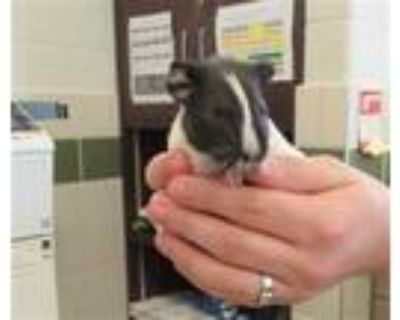 Adopt *G PIG 3 a White Guinea Pig / Mixed small animal in Derwood, MD (31616005)