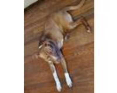 Adopt Boojy a Red/Golden/Orange/Chestnut - with White American Pit Bull Terrier