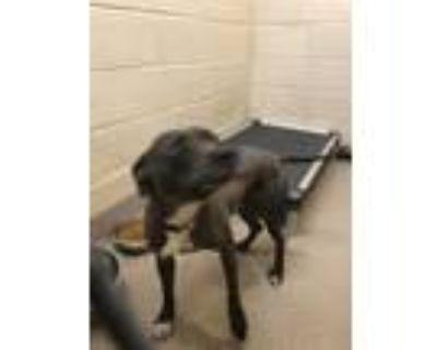 Adopt 47922915 a Gray/Blue/Silver/Salt & Pepper American Pit Bull Terrier /