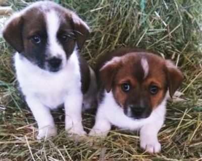 ON SALE!! Toy Fox Terrier puppies