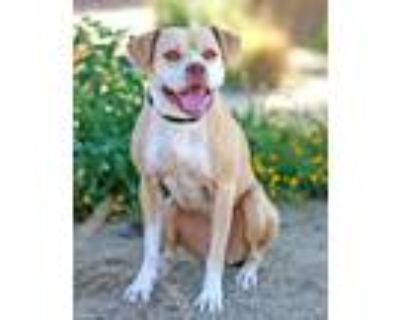 Adopt Odessa a American Staffordshire Terrier, Mixed Breed