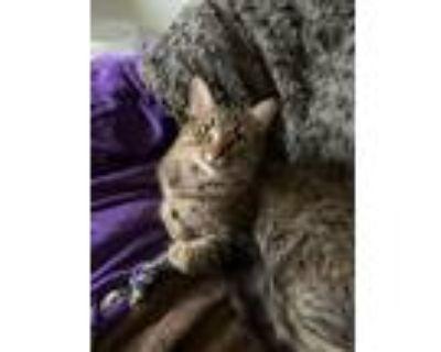 Adopt Linda a Brown or Chocolate American Shorthair / Mixed (long coat) cat in