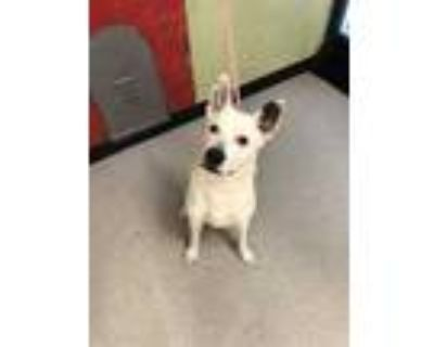 Adopt GHOST a White Husky / Mixed dog in Indianapolis, IN (31400425)
