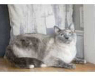 Adopt Do Re Mi a Gray or Blue (Mostly) Siamese (short coat) cat in Dayton