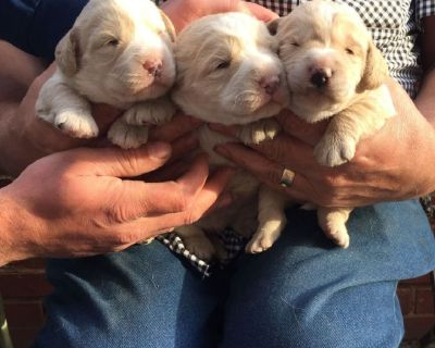 Poodle/hungarian Pumi Cross Puppies For Sale