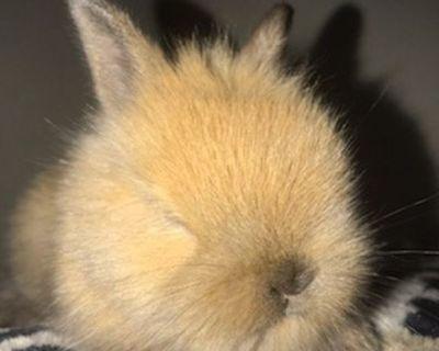Lionhead Dwarf Bunnies Rabbits Dwarfs Bunny Rabbit