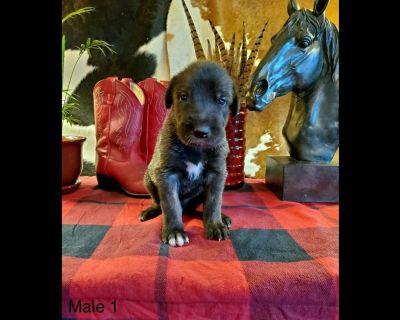 Farm Raised Irish Wolfhound Pups