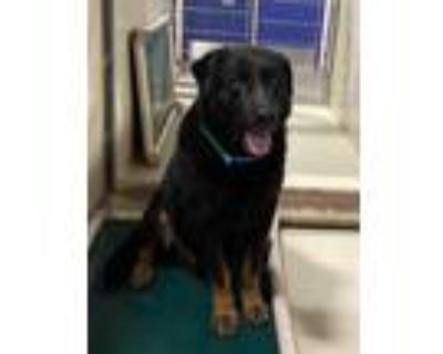 Adopt *MOOSE a Black - with Brown, Red, Golden, Orange or Chestnut Rottweiler /
