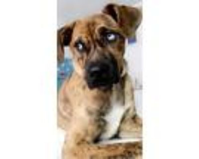 Adopt Ivy a Brindle American Pit Bull Terrier / Husky / Mixed dog in Sandy