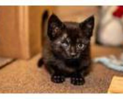 Adopt Wich a All Black Domestic Shorthair / Domestic Shorthair / Mixed cat in