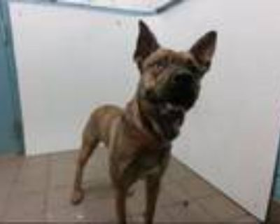 Adopt CHOOKIE a Pit Bull Terrier, Mixed Breed