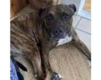 Adopt Bully a Brindle - with White American Staffordshire Terrier dog in