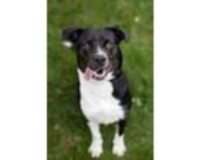 Adopt Maura a Black - with White Border Collie / Mixed dog in South Park