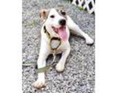 Adopt Destiny a Pit Bull Terrier, Labrador Retriever