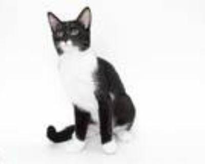 Adopt SALLY a Black & White or Tuxedo Domestic Shorthair / Mixed (short coat)