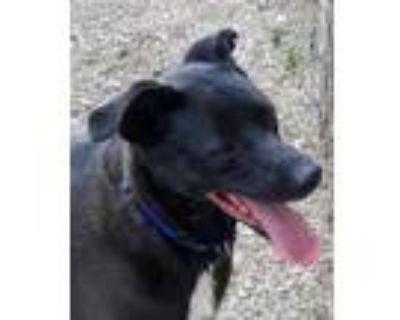 Adopt Otis a Terrier, Black Labrador Retriever