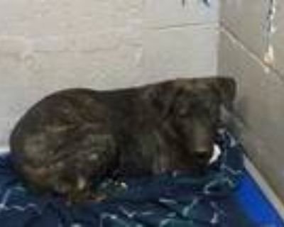 Adopt 47966320 a Brindle Pointer / Shepherd (Unknown Type) / Mixed dog in Los