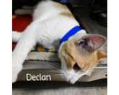 Adopt Declan a White Domestic Shorthair / Mixed cat in Madisonville