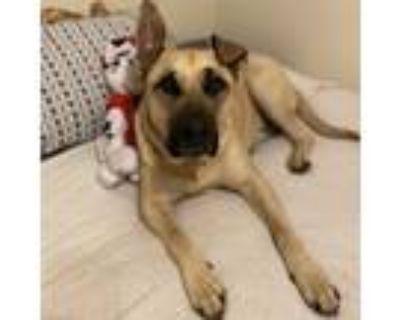 Adopt Tuck a Tan/Yellow/Fawn Mastiff / German Shepherd Dog / Mixed dog in