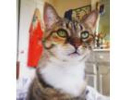 Adopt Myrtle a Tan or Fawn Tabby Domestic Shorthair / Mixed (short coat) cat in