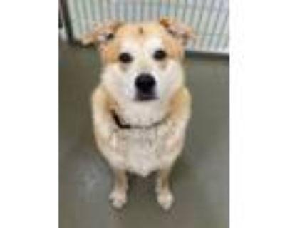 Adopt BALOO a Labrador Retriever, German Shepherd Dog