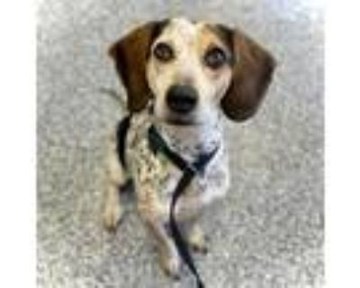 Adopt Rust a Black Beagle / Mixed dog in Indianapolis, IN (31169629)