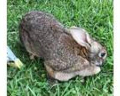 Adopt Tallulah a Agouti Flemish Giant / Mixed (medium coat) rabbit in Paradis