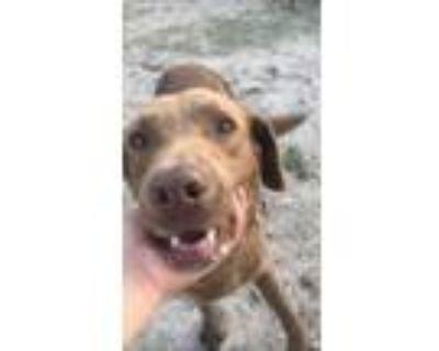 Adopt Choco - Ideally homed with his partner Kassy a Labrador Retriever