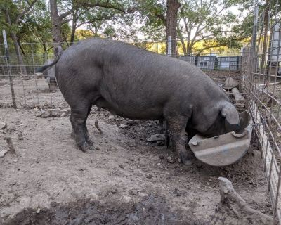 two Large black sows