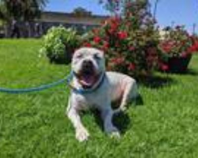 Adopt BRUNO a White - with Gray or Silver American Pit Bull Terrier / Mastiff /