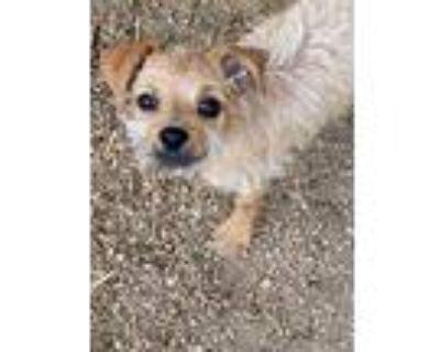 Adopt Wirt a Terrier (Unknown Type, Small) / Mixed Breed (Medium) / Mixed dog in