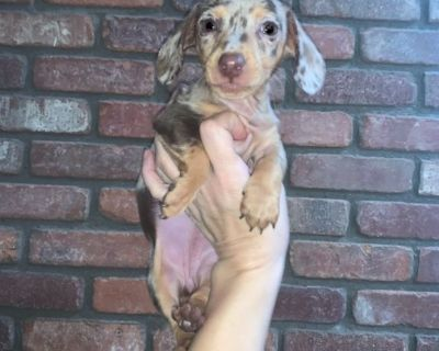 Dachshunds Miniature AKC Long Haired Short Haired Dapples & English Creams