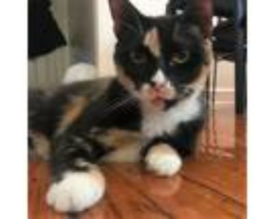 Adopt Petunia a Calico or Dilute Calico Domestic Shorthair / Mixed (short coat)
