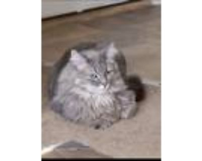Adopt Larry a Gray or Blue Maine Coon / Mixed (long coat) cat in Albuquerque