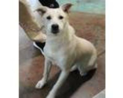 Adopt Osa a White German Shepherd Dog / Mixed dog in West Chester, PA (31155980)
