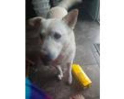 Adopt Luna a White Husky / Labrador Retriever / Mixed dog in Colorado Springs