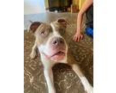 Adopt NIKITA a Brown/Chocolate - with White American Pit Bull Terrier / Mixed