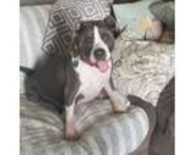 Adopt Baylee a Pit Bull Terrier