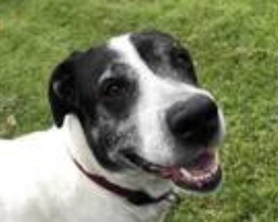 Adopt Lucy a White Pointer / Mixed dog in Boulder, CO (31330844)