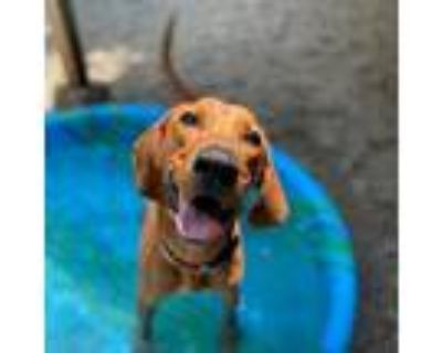 Adopt Big Sky a Brown/Chocolate Hound (Unknown Type) / Mixed dog in Decatur
