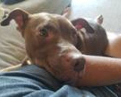 Adopt Mocha a Brown/Chocolate - with White American Pit Bull Terrier / Mixed dog