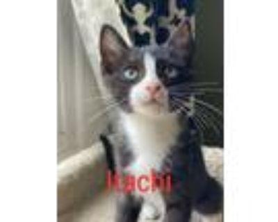 Adopt Itachi a Domestic Short Hair