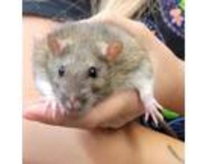 Adopt MR. LAHEY a Tan or Beige Rat (short coat) small animal in Tucson