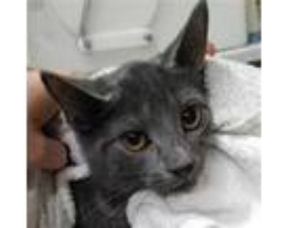 Adopt CUTIE a Gray or Blue Domestic Shorthair / Mixed (short coat) cat in