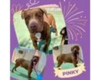 Adopt Pinky a Brown/Chocolate American Pit Bull Terrier / Mixed dog in El Paso