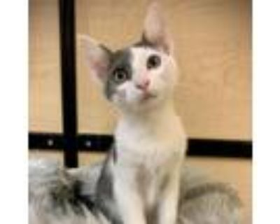 Adopt Sandra a Gray or Blue Domestic Shorthair / Mixed cat in Houston