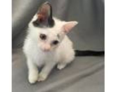 Adopt Miek a White Domestic Shorthair / Mixed cat in Wichita, KS (31841916)