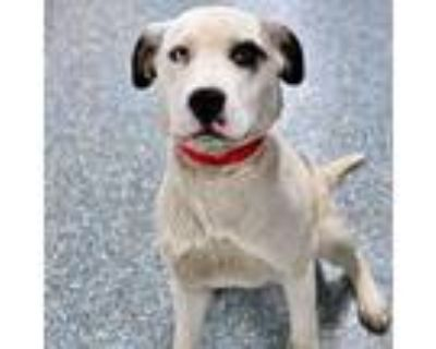 Adopt Mabel a White Blue Heeler / Mixed dog in Wichita, KS (31161427)