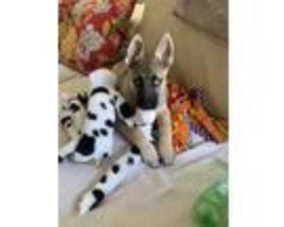 Adopt Dara a Black - with Tan, Yellow or Fawn German Shepherd Dog / Siberian
